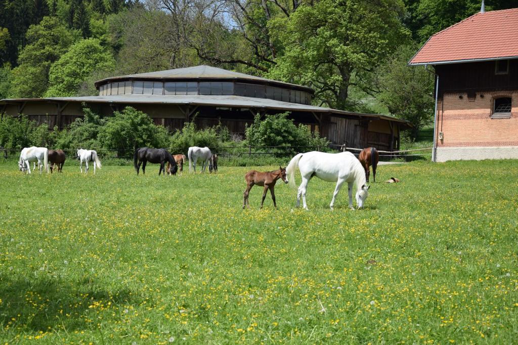 Pferde auf der Koppel, Haupt- und Landgestüt Marbach