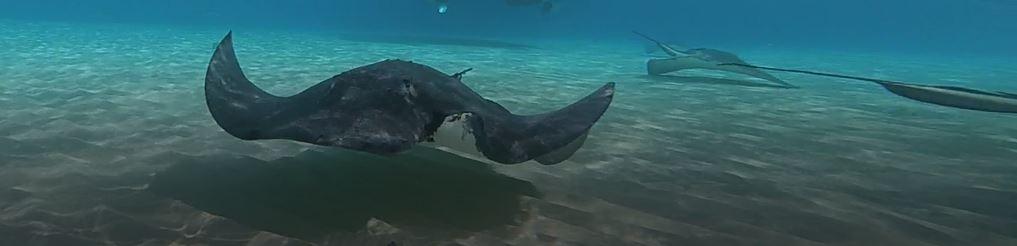 AIDA Karibik - Cayman Islands - Ausflug, schwimmende Rochen auf Stingray City